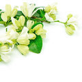 Orang jessamine white flower murraya paniculata or china box tree andaman satinwood isolated on a white background Royalty Free Stock Images