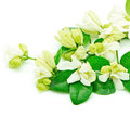 Orang jessamine white flower murraya paniculata or china box tree andaman satinwood isolated on a white background Stock Image