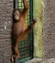 Orang utan an baby on the island of borneo Royalty Free Stock Image