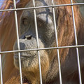 Orang Utan in the cage Royalty Free Stock Photos