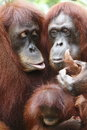 Orang utan in the forest jungle Stock Photos