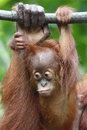Orang utan in the forest jungle Royalty Free Stock Photo