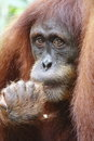 Orang utan in the forest jungle Royalty Free Stock Photos