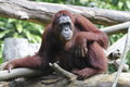 Orang utan in the forest jungle Stock Image