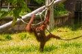 Orang-utan from Sabah, Malaysia, Borneo.