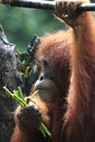 Orang utan singapore zoo orange ape Stock Photography