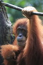 Orang utan singapore zoo orange ape Royalty Free Stock Photography