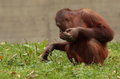 Orang utan view of an young on grass Stock Photo