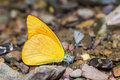 Orange albatross butterfly close up of appias nero puddling on the ground in nature Stock Image