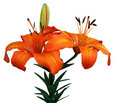 Orange Asiatic Lily Stock Images