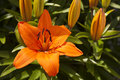 Orange asiatic lily lilium variety in flower in garden Stock Photography