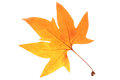 Orange autumn leaf Royalty Free Stock Photo