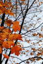 Orange Autumn Maple Leaves Stock Images