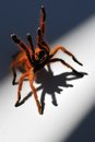 Orange baboon spider this is a feisty tarantula Royalty Free Stock Images