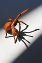 Orange baboon spider this is a feisty tarantula Stock Photos