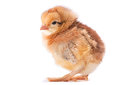 Orange baby chicken one isolated on white Stock Photos