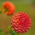 Orange Ball Dahlia Stock Photography