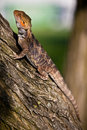 Orange bearded dragon on the tree Royalty Free Stock Photos