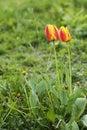 Orange beautiful tulips Royalty Free Stock Photo