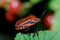 Orange beetle black striped sitting on a leaf in the sun Stock Photos