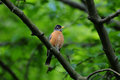 Orange bellied bird resting on a tree branch Stock Images
