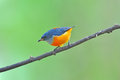 Orange-bellied Flowerpecker bird Royalty Free Stock Photography