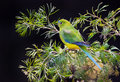 Orange Bellied Parrot Critically Endangered Bird Royalty Free Stock Photo