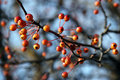 Orange Berries on Leafless Branches Stock Photos