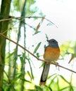 Orange bird Royalty Free Stock Photo