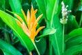 Orange bird of paradise flower blossom Royalty Free Stock Photo
