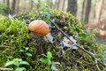 Orange BirkeBolete Stockbild