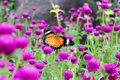 Orange and black dotted wings in meadow park, Leopard Lacewing butterfly on purple amaranth flower.