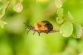 Orange and Black Milkweed Bug Royalty Free Stock Photo