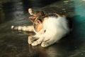 Orange, black and white cat Royalty Free Stock Photo