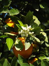Orange blossom Stock Images