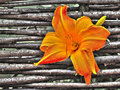 Orange blossom of a day lily in front braided willow fence Royalty Free Stock Photo