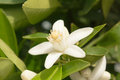 Orange blossom flower of an tree among leaves close up Stock Images