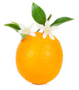 Orange and blossom fruit with leaves tree flowers fruit on white background Royalty Free Stock Photos