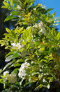 Orange blossom jasmine also known as murraya paniculata china box mock or jessamine this evergreen shrub flowers at Royalty Free Stock Photo