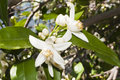 Orange Blossoms Royalty Free Stock Photos