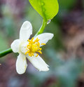 Orange blossoms on branch Royalty Free Stock Photo