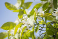 Orange blossoms in spring, azahar Royalty Free Stock Photo
