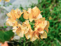 Orange bougainvillea paper flowers and green grass Stock Photography