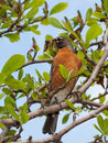 Orange breasted robin hold insect larva worm perch branch blue sky green leaves frame robin Royalty Free Stock Images
