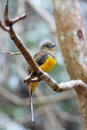 Orange breasted trogon harpactes oreskios female Royalty Free Stock Photo