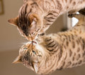 Orange brown bengal cat reflecting in mirror Royalty Free Stock Photos