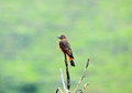 Orange and brown songbird song bird perched on the top of a tree Stock Image