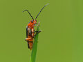 Orange bug on grass tip closeup of an a of Royalty Free Stock Photography