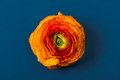 Orange buttercup ranunculus flower, on blue background Royalty Free Stock Photo