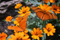 Orange Butterflies Royalty Free Stock Photography